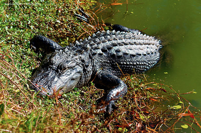 Alligator in South Carolina.