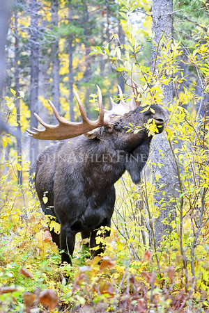 """Autumn Moose."""