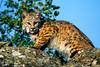 #148 Bobcat