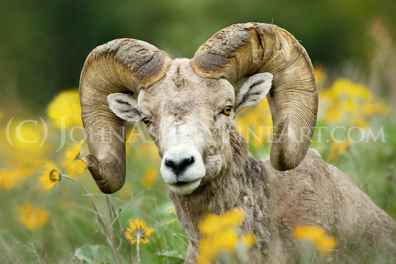"""""""Bighorn Ram."""""""