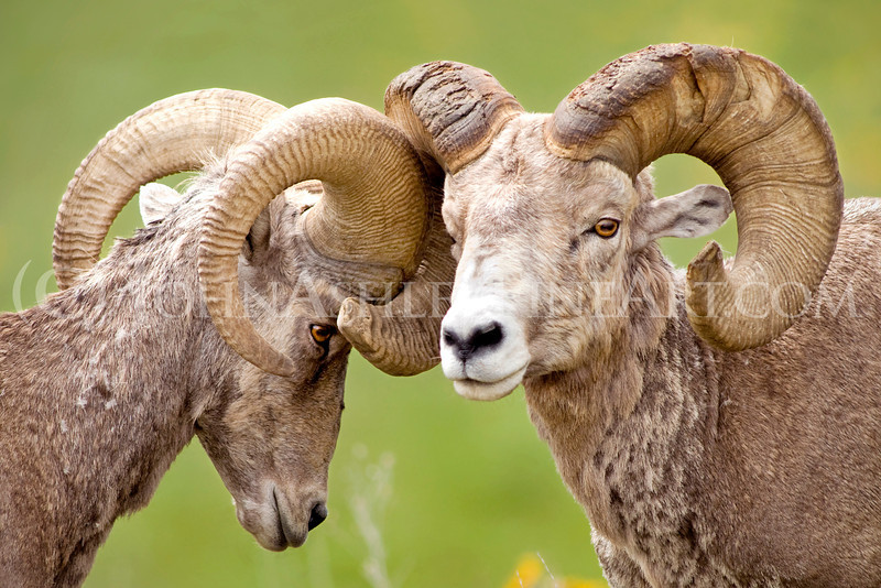"""Bighorn Brotherhood."""