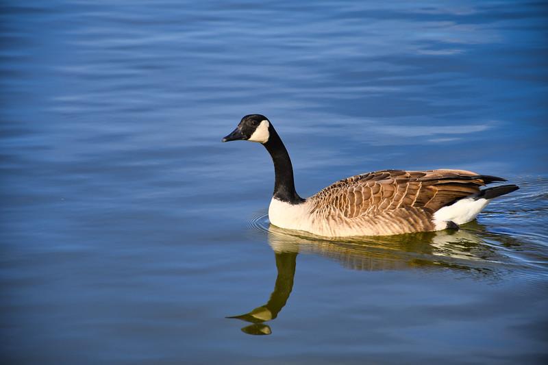 Mirrored Goose