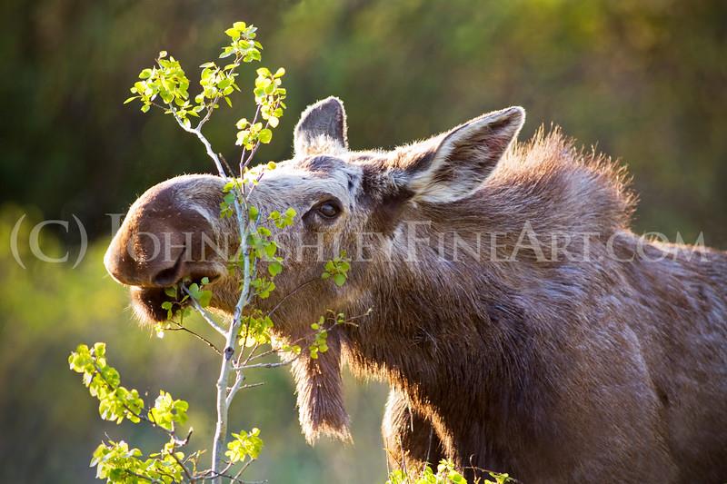 """Moose Munchies."""