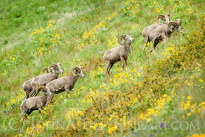 """Bighorn Hillside"""