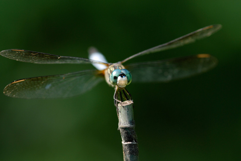 Dragonfly - While shooting I watched the strong sunlight enter his eye and focus on the inside of his face.