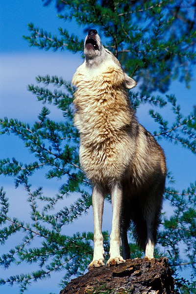 #144 Howling Wolf