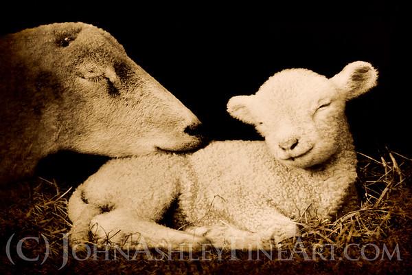 """""""Peaceful Lamb."""""""