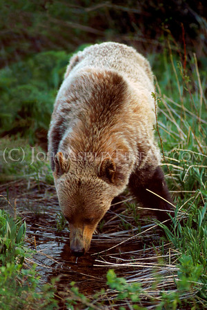 """""""Thirsty Grizzly."""""""
