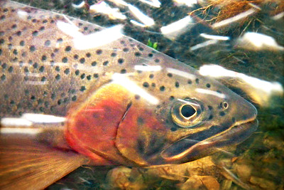 """Trout Bubbles"""