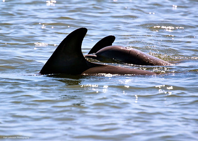 Dolphins In The May River