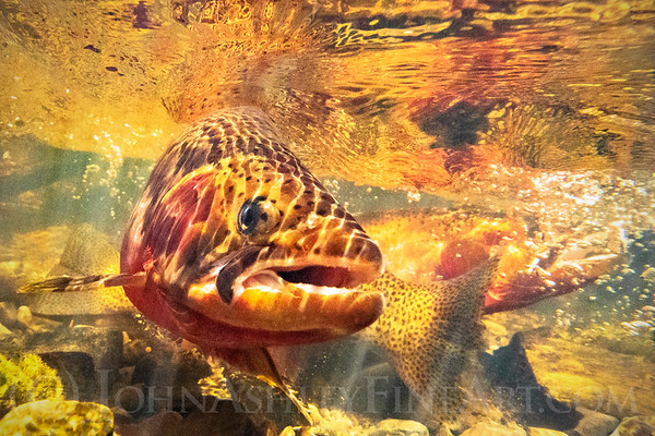 """""""Tail-slapping Trout."""""""