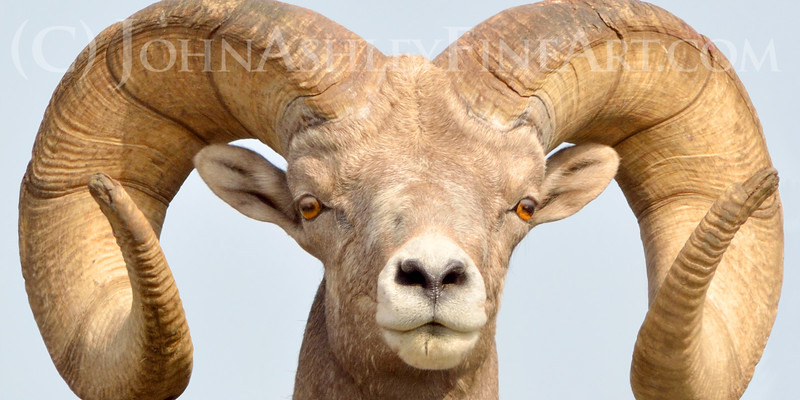 a confident bighorn sheep ram checks you out and stares you down