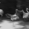 Flamingo Dance, 1999<br /> Black and White Film Photgraphy