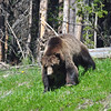 Grizzly, Yellowstone NP