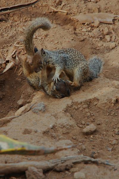 santa monica has some fierce wildlife...