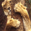 Tiger Hug, 1995<br /> Color Film Photography