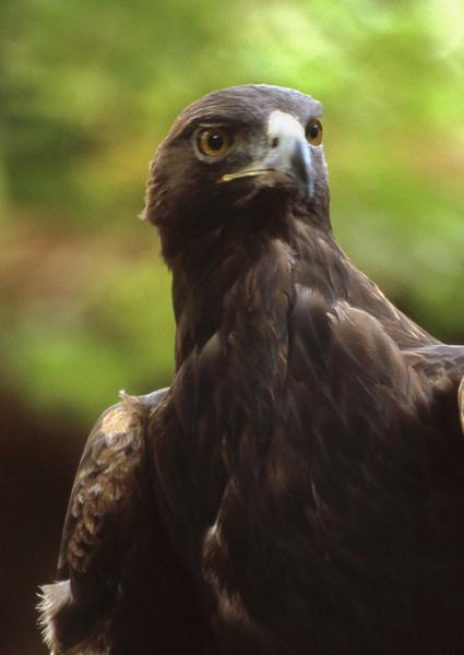 Eagle Stare, 2000<br /> Film Photography