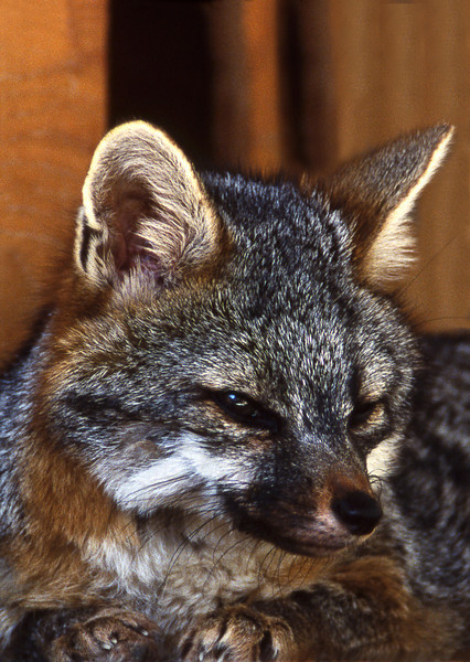 Gray Fox, 1998<br /> Film Photography