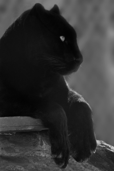 Black Panther, 1997<br /> Black and White Film Photography
