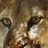 Mountain Lion Stare, 1995<br /> Film Photography