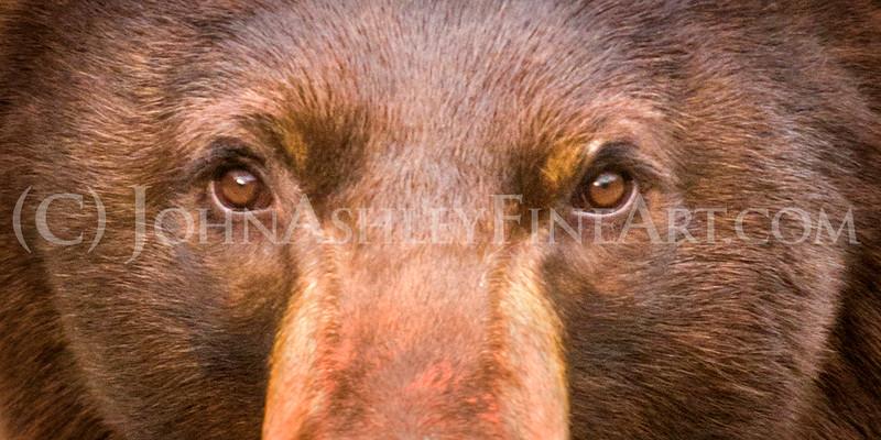 """Black Bear Stare"""