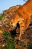 #141 Cougar