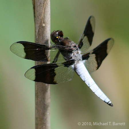 White Tail Dragonfly #1