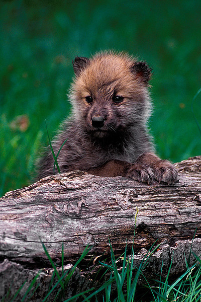 #146 Wolf Pup