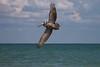 Brown pelican banking