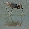 Crazy Fishing Egret