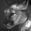 Mountain Lion Profil, 1998<br /> Black and White Film Photography