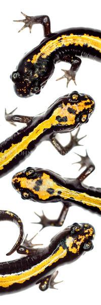 """Salamander Meander"""