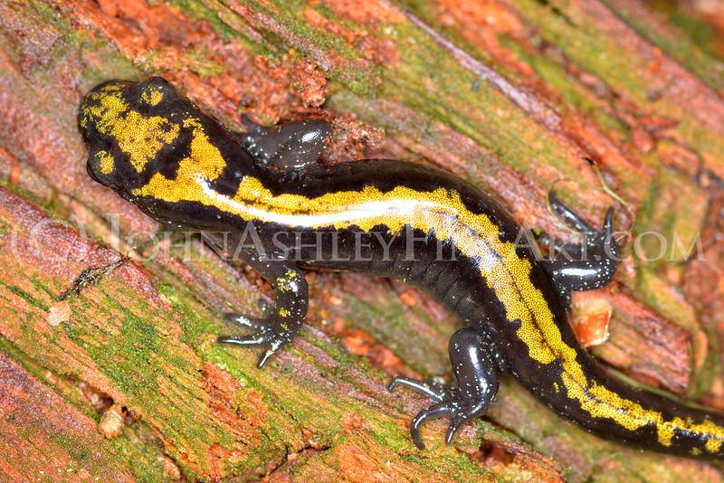 """Long-toed Salamander"""