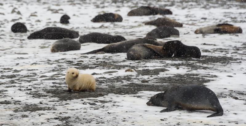 Blonde fur seal at Fortuna Bay, South Georgia