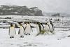 Kng penguins at Fortuna Bay, South Georgia