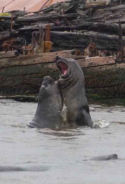 Battling elephant seals