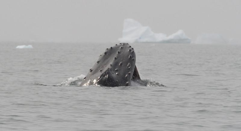Humpback whales feeding in Dahlmann Bay