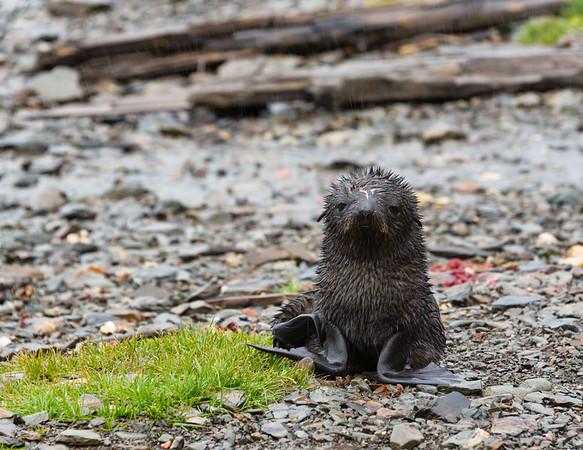 Fur seal pup in Grytviken, South Georgia