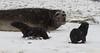 Fur and elephant seals at Fortuna Bay, South Georgia