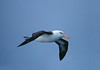Black-browed Albatross were one of many birds that flew by the ship deck throughout all days while curising.