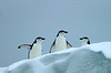This and the next 5 images are of chinstrap penguins