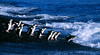 Chinstrap Penguins entering the water at Deception Island.