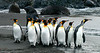King penguins emerging from the wate at St Andrews Bay.  Those are southern elephant seals in the background.