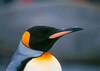 Portrait of a King Penguin.