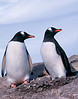 A Gentoo penguin couple at their nest.  These penguins actaully pick up and carry these individual rocks from the beach which was about a 1 mile away.  These penguins were seen at both South Georgia Island and Antarctica.