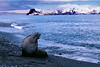 A female elephant seal sunbathing at Right Whale Bay, St georgia Island.
