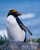 A macaroni penguin standing up above his nest.  From South Georgia Island.