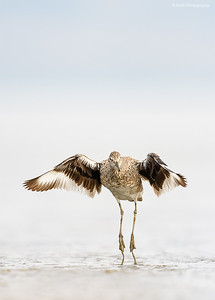 Willet Jumping