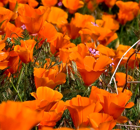 Antelope Valley California Poppy Reserve, California