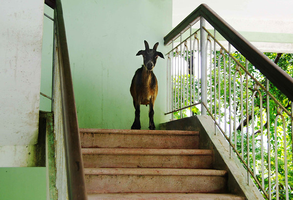 Goat on the Stairs